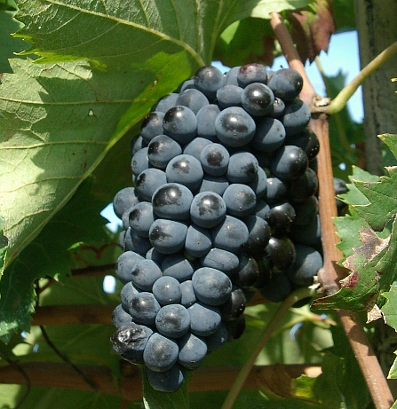Alegoria o winorośli