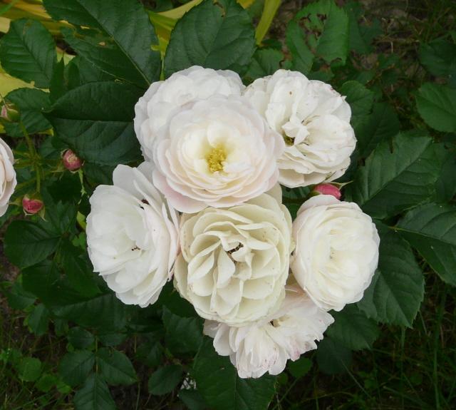 Z życia róż